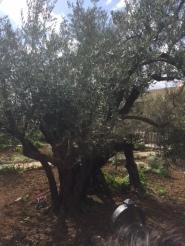 olivier de plus de 1600 ans